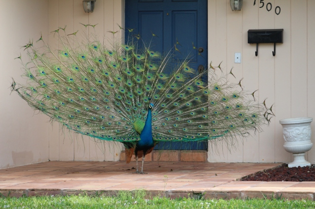 Male Peacock on Front Porch
