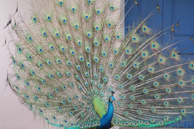 Peacock Turning 1 by Suzanne Hosang