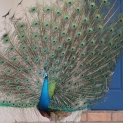 Peacock Turning 10 by Suzanne Hosang