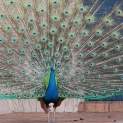Peacock Turning 11 by Suzanne Hosang