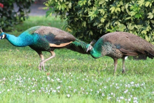 Female Peacocks