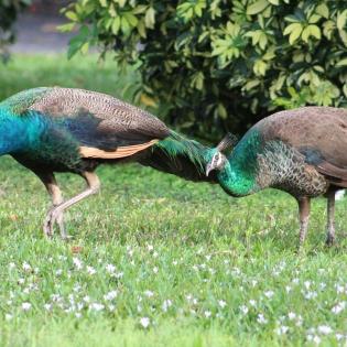 Female Peacocks