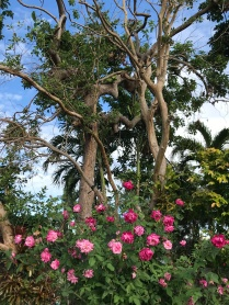 Roses flanked against trees left leafless by Hurricane Irma
