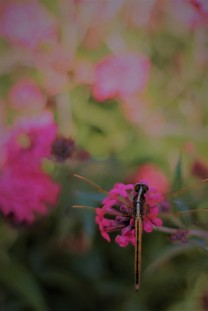 Dragon Fly on Pentax