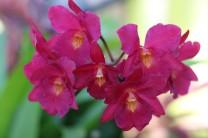 Bratonia Orchid