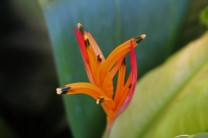 Matchstick Heliconia