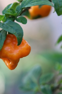 Scotch Bonnet Pepper Tree